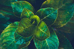 fleischige Grünpflanze